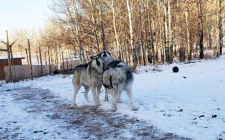 Running with the Wolves at Yamnuska Wolfdog Sanctuary