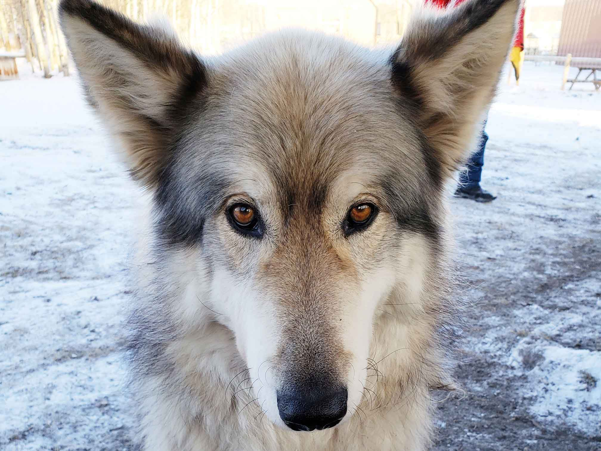 Wolfdog with amber eyes