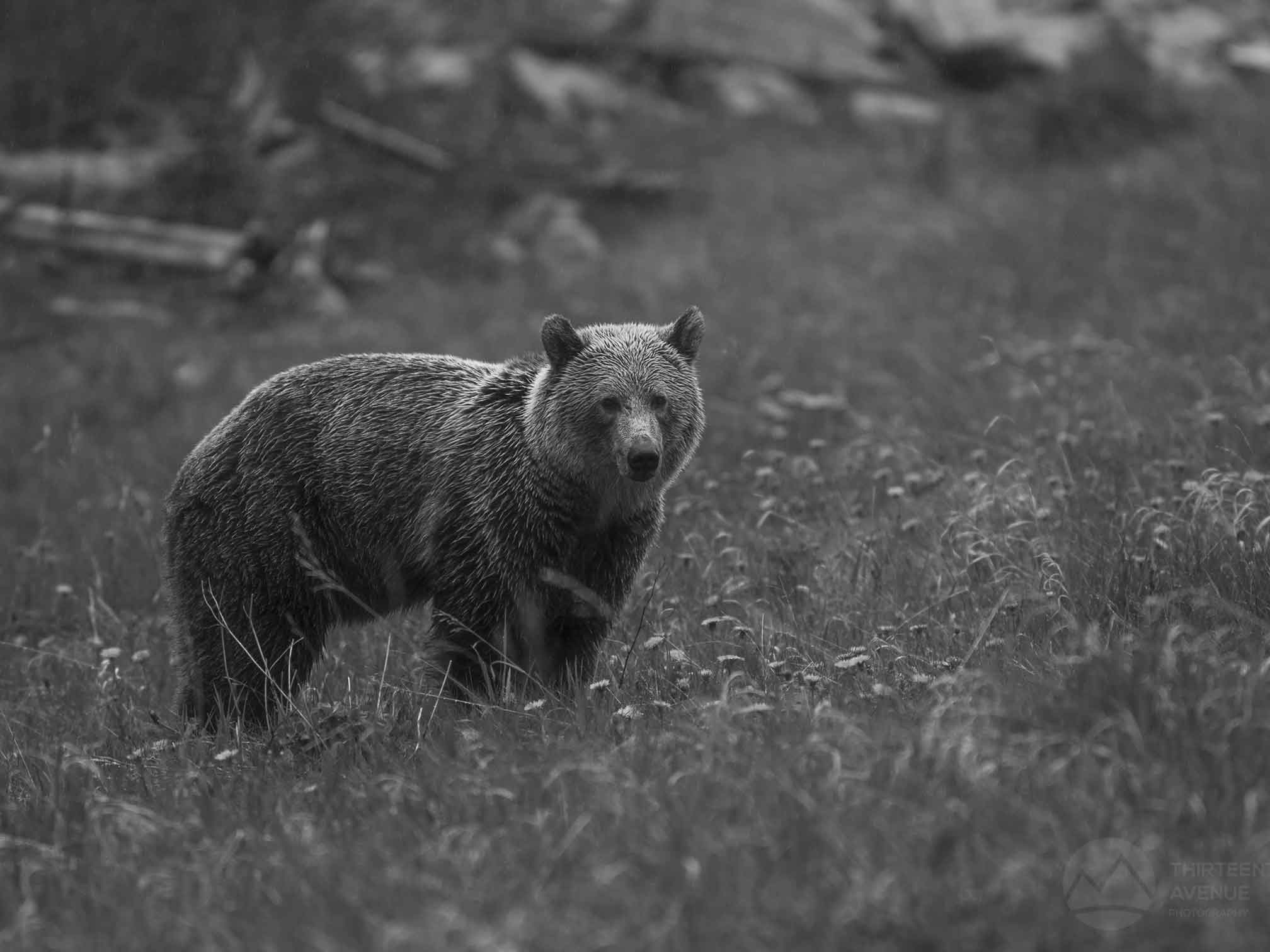 Grizzly Bear in Kananaskis by Thirteenth Avenue Photography