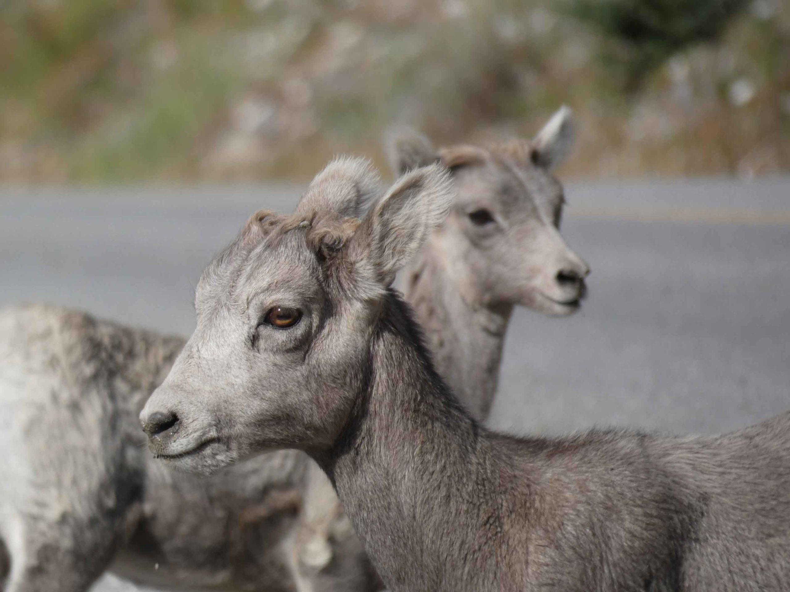 Bighorn Sheep in Jasper