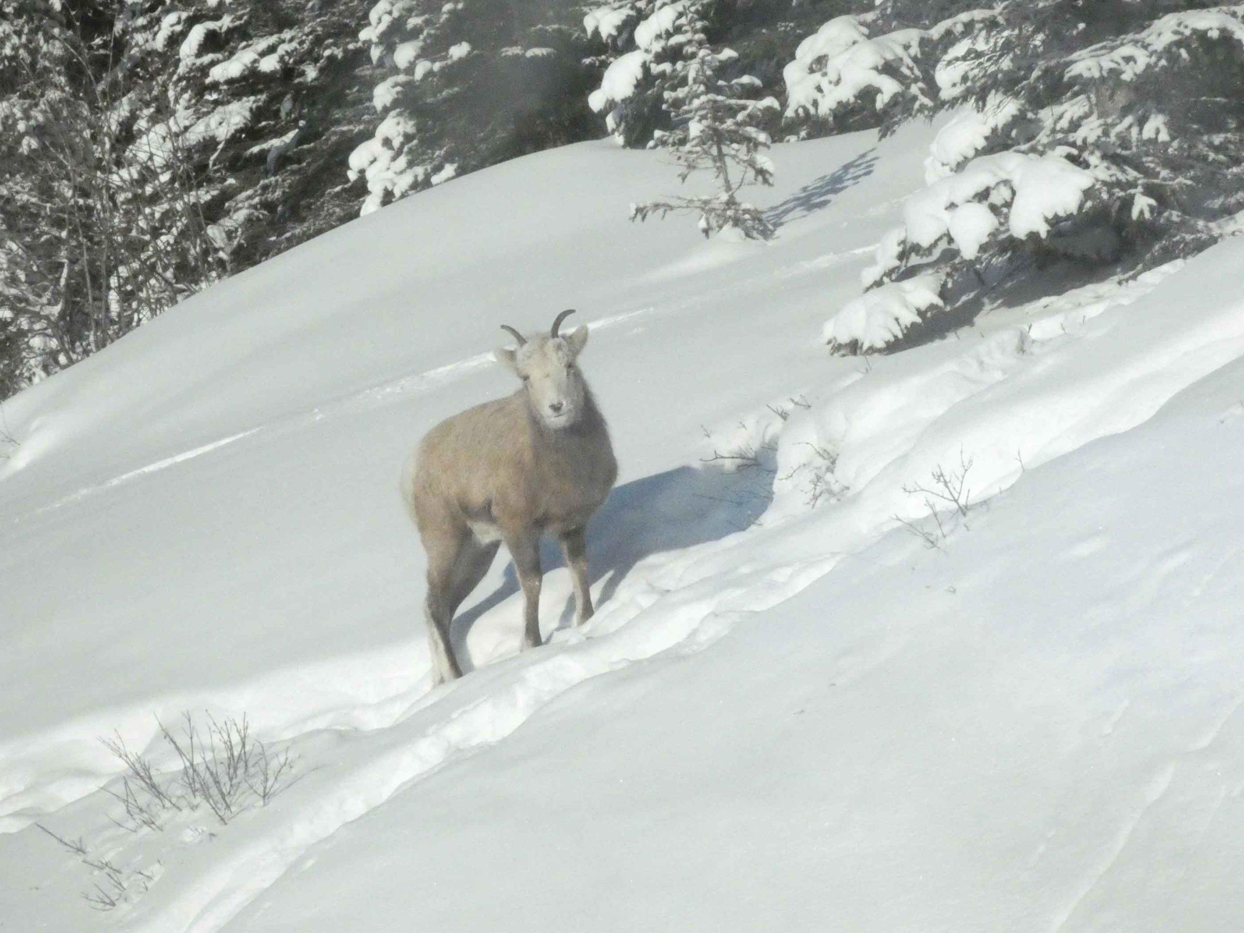 Winter Wildlife in Jasper