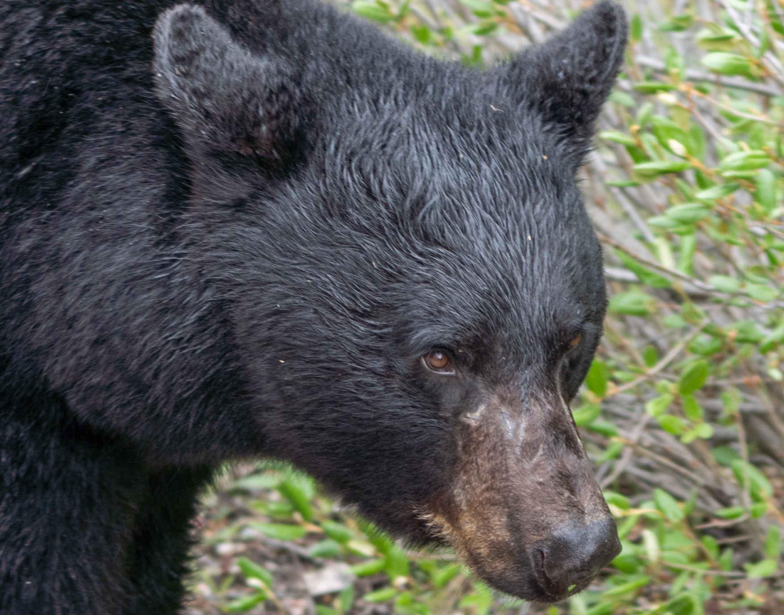 Bear close up by Jack Hawkins