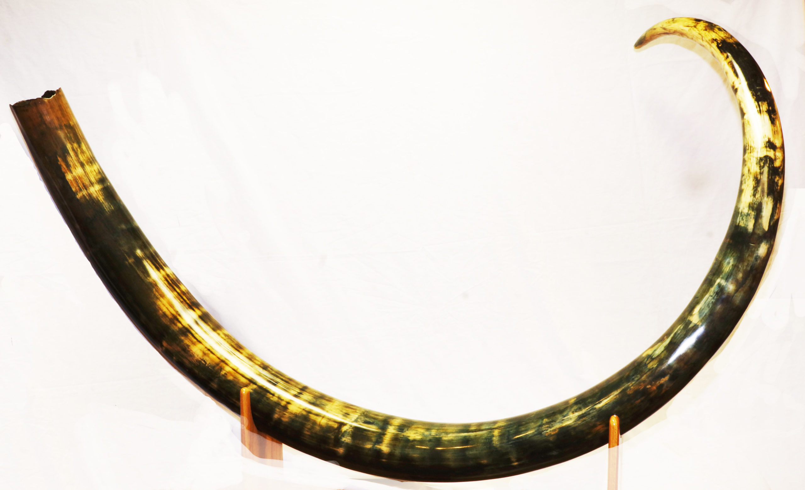 Complete mammoth tusk at Our Native Land