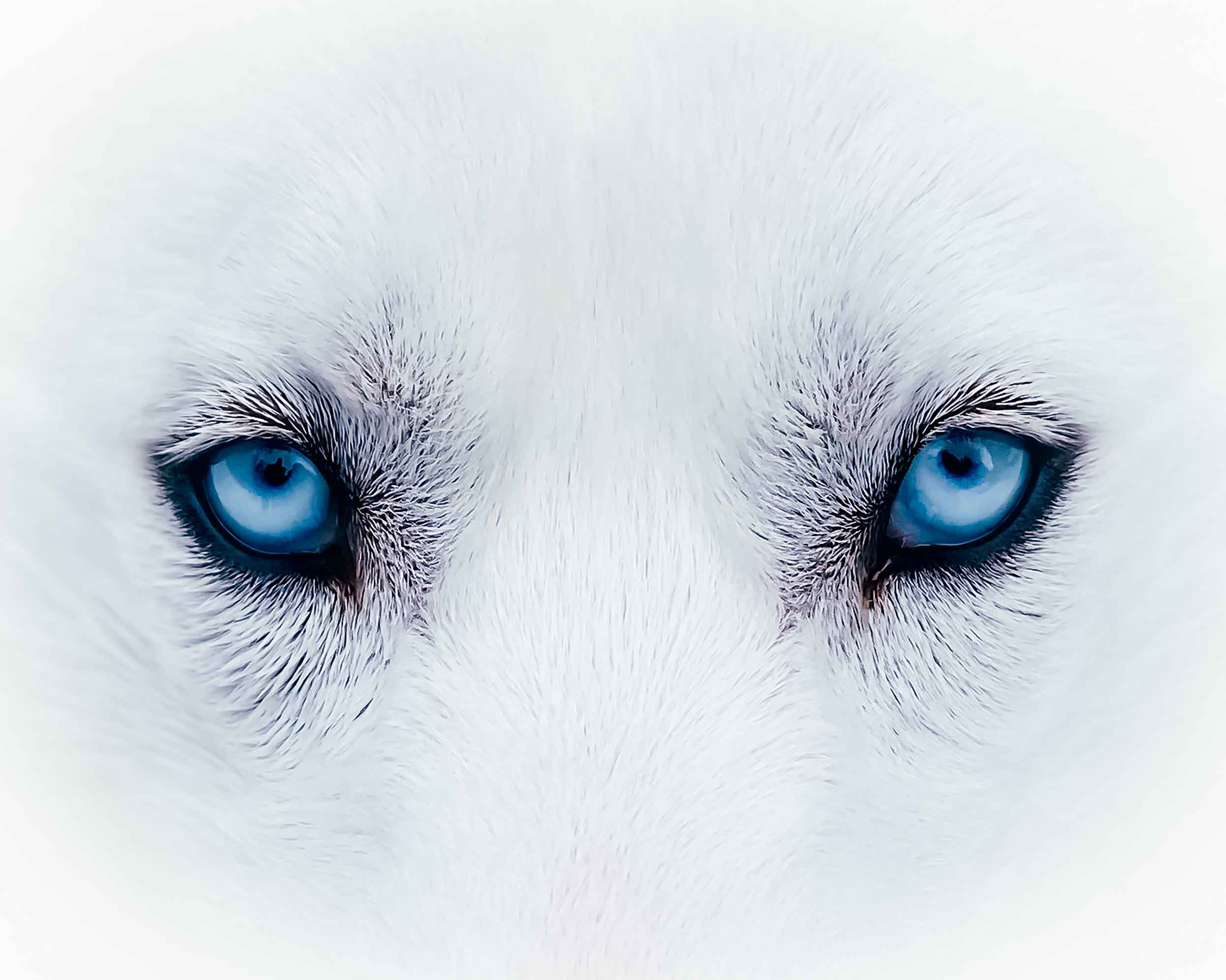 Close up of a husky's blue eyes taken with a smartphone by Sanjay Chauhan