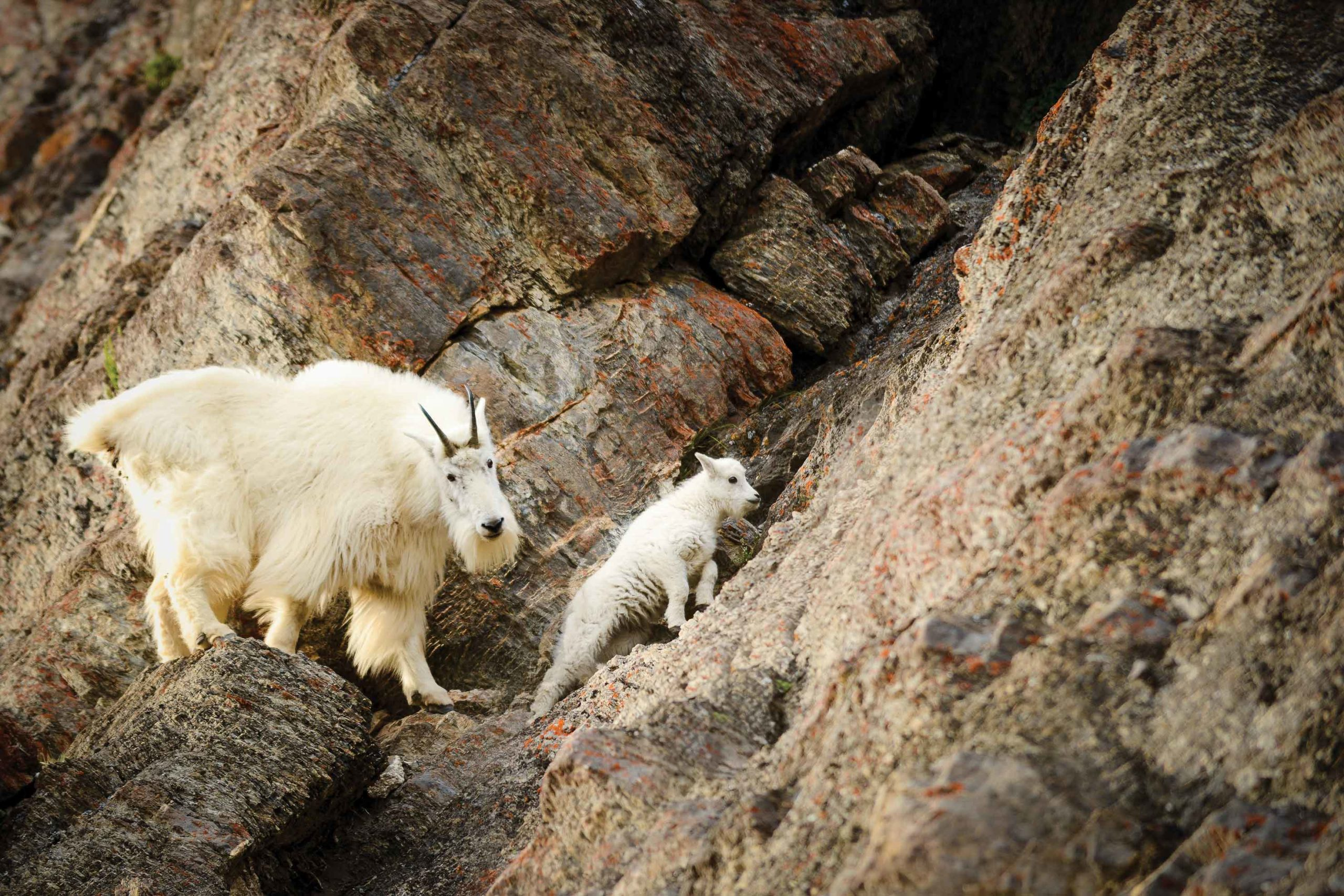Wild Mountain Goats stroll along a cliff face