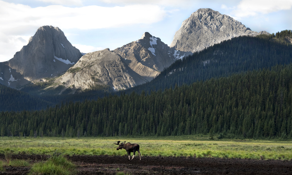 A moose in the meadows under the mountains in Kananaskis, an area now covered by the Conservation Pass